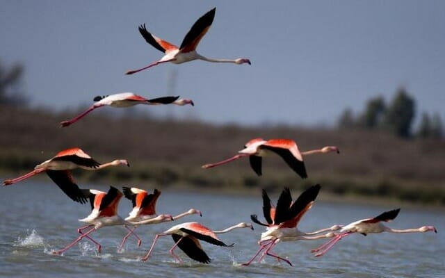 Flamingos - Miyankaleh - Golestan - Caspian Sea Extension Iran Tour Highlight